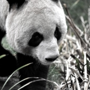 Why do zoologists hate pandas?