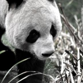 Why do zoologists hatepandas?