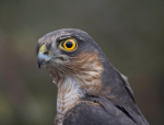 Sparrowhawk Photo credit: Jacob Spinks