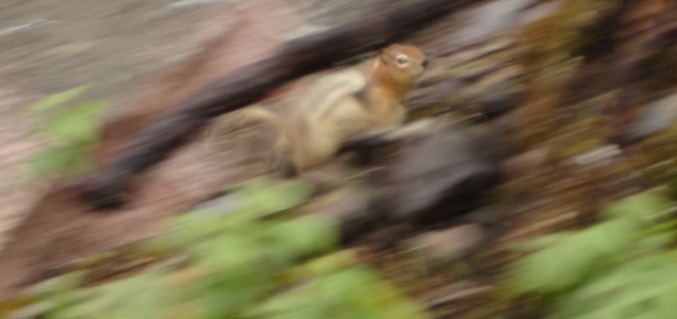 Ground squirrel or chipmunk running