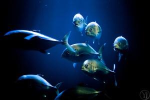 Réunion island tuna