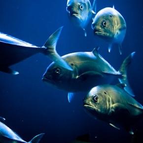 Tuna survival on theline