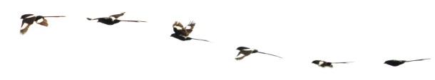 Magpie Shrike in flight