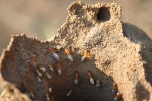 termites building