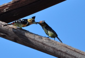 Always busy: parent Crested Barbet feeding juvenile
